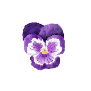 purplepansy